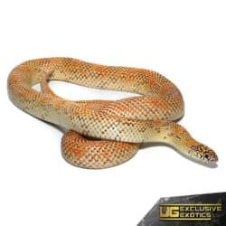 Hypo Blotched Kingsnake For Sale - Underground Reptiles