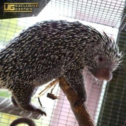 Prehensile Tailed Porcupine For Sale - Underground Reptiles
