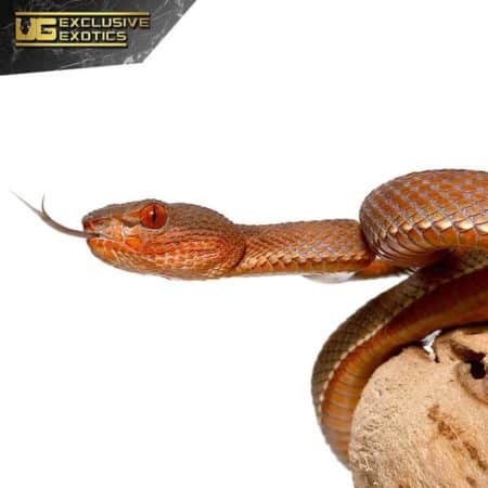 Red Purple Spotted Pit Viper For Sale - Underground Reptiles