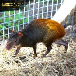 Red Rumped Agouti For Sale - Underground Reptiles
