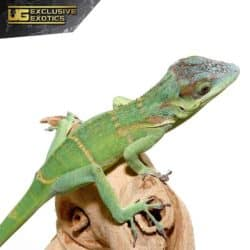 Smallwood's Anole For Sale - Underground Reptiles
