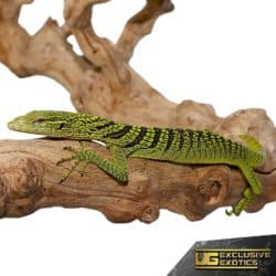 Yellow Tree Monitor For Sale - Underground Reptiles