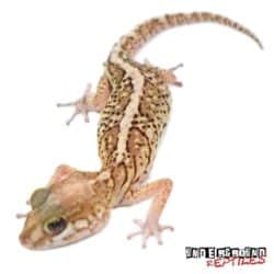 Panther Gecko For Sale - Underground Reptiles