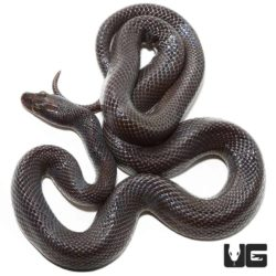 African Black House Snakes For Sale - Underground Reptiles