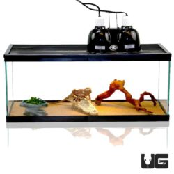 Baby Bearded Dragon Setup For Sale - Underground Reptiles