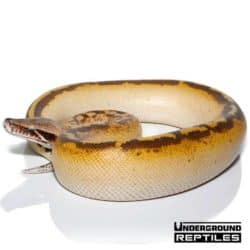 Yearling Ivory Blood Python For Sale - Underground Reptiles