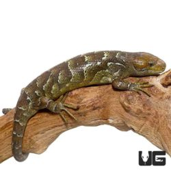 Baby Monkey Tailed Skinks For Sale - Underground Reptiles