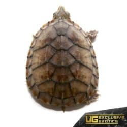 Baby Pastel Musk Turtles For Sale - Underground Reptiles