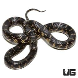 Yearling Florida Kingsnake For Sale - Underground Reptiles