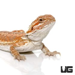 9-11 Hypo Inferno Bearded Dragon For Sale - Underground Reptiles