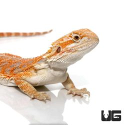 7 – 9 Inch Hypo Inferno Blue Bar Bearded Dragon For Sale - Underground Reptiles
