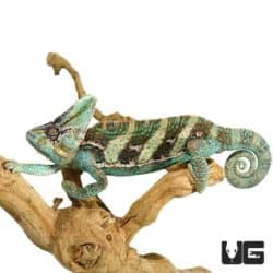 12+ Inch Veiled Chameleon for sale - Underground Reptiles