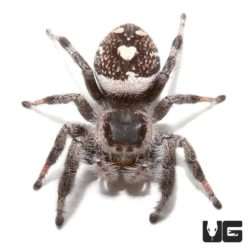 Adult Regal Jumping Spiders For Sale - Underground Reptiles