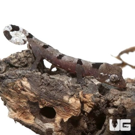 Baby Malayan Spiny Tailed Geckos For Sale - Underground Reptiles