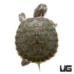 Baby Southern River Cooter Turtle For Sale - Underground Reptiles