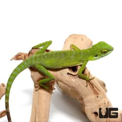 Green Crested Lizards For Sale - Underground Reptiles
