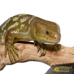 Monkey Tailed Skink For Sale - Underground Reptiles