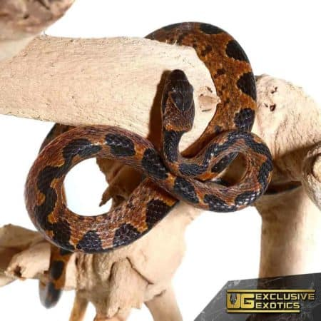 Banded Cat Eye Snakes For Sale - Underground Reptiles