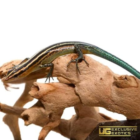 Pacific Blue Tailed Skinks for sale - Underground Reptiles