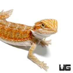 Baby Hypo Blue Bar Bearded Dragons For Sale - Underground Reptiles
