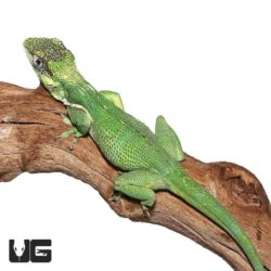 Adult Cuban Knight Anoles For Sale - Underground Reptiles
