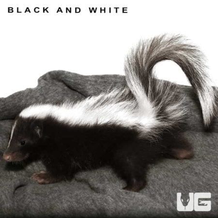 Baby Captive Bred Skunks For Sale - Underground Reptiles