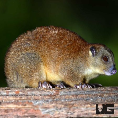 Southern Common Cuscus for sale - Underground Reptiles