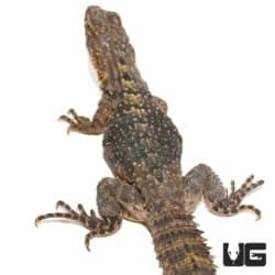 Yellow Back Spiny Tailed Iguana for sale - Underground Reptiles