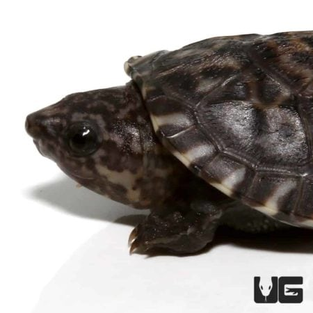 Baby Giant Mexican Musk Turtle For Sale - Underground Reptiles