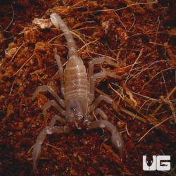Baby Asian Forest Scorpions for sale - Underground Reptiles