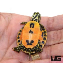 Florida Red Belly Slider Turtles For Sale - Underground Reptiles