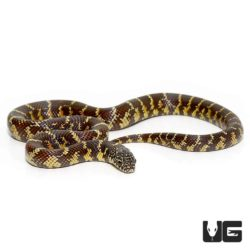 Baby Florida Kingsnake For Sale - Underground Reptiles