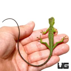 Baby Monkey Anole For Sale - Underground Reptiles