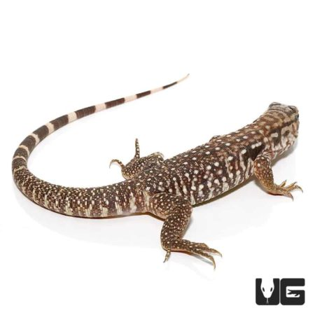 Baby Black Flame Tegu For Sale - Underground Reptiles