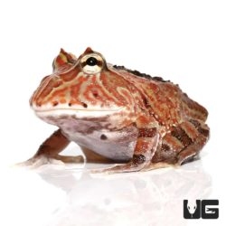 Brown Fantasy Pacman Frogs For Sale - Underground Reptiles