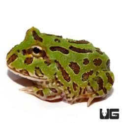 Peppermint Pacman Frog For Sale - Underground Reptiles
