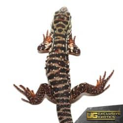 High White Red Tegu for Sale - Underground Reptiles