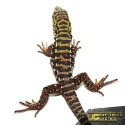 Baby Super Red Tegu for Sale - Underground Reptiles