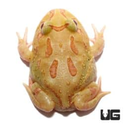 4 Spot Patternless Albino Pacman Frogs For Sale - Underground Reptiles