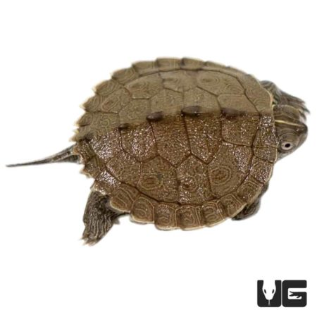 Baby Mississippi Map Turtles For Sale - Underground Reptiles