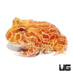 Apricot Pacman Frogs For Sale - Underground Reptiles