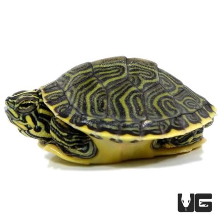 Peninsula Cooter Turtles For Sale - Underground Reptiles