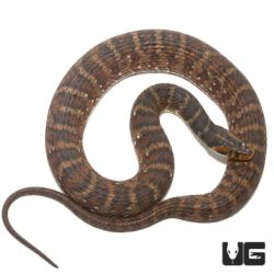 Banded Water Snakes for sale - Underground Reptiles