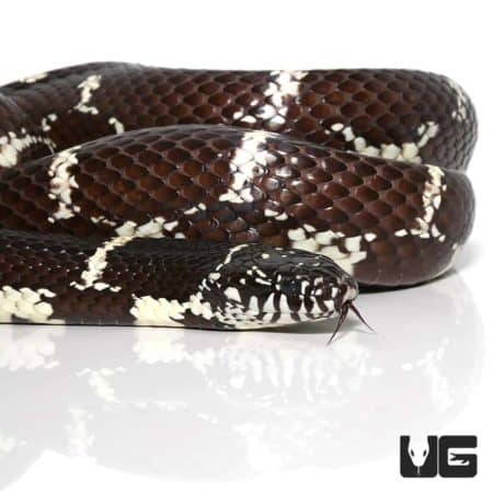 Chain Kingsnakes For Sale - Underground Reptiles
