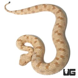 Field's Horn Viper For Sale - Underground Reptiles