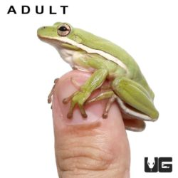 Green Tree Frog Tadpoles For Sale - Underground Reptiles