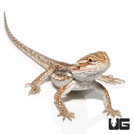 Baby Inferno Dunner Bearded Dragons for sale - Underground Reptiles