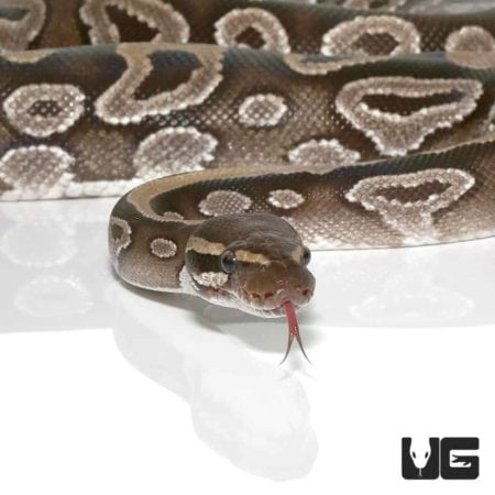 Female Mojave Ball Python For Sale - Underground Reptiles