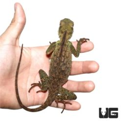 Mountain Horned Lizards For Sale - Underground Reptiles
