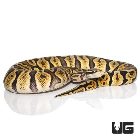 Female Pastel GHI Ball Python For Sale - Underground Reptiles